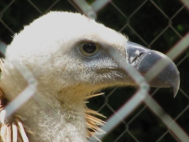 Cabeza de buitre en la zona de Bolitos d´Aus Garrapiñas. Capeza de güeitre en a zona de Bolitos d´Aus Garrapiñas